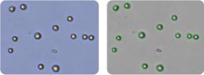 786-0 cells