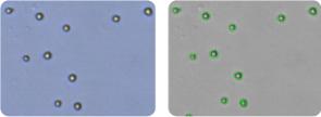 CCRF-CEM cells
