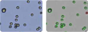 EKVX cells