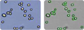 HOP-62 cells