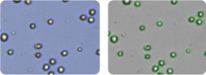 MDA-MB-231/ATCC cells
