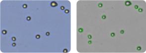 MDA-MB-435 cells