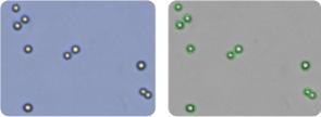MDA-MB-468 cells