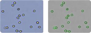NCI/ADR-RES cells