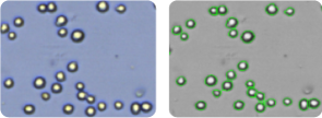 NCI-H23 cells