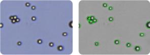 NCI-H322M cells