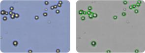 OVCAR-4 cells