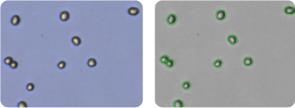 PC-3 cells