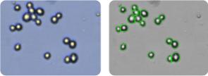 SF-295 cells