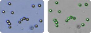SF-539 cells