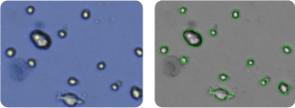 SK-MEL-2 cells