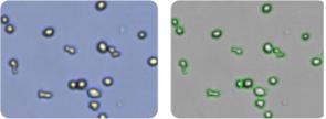SK-OV-3 cells