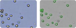SN-12C cells