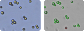 SNB-19 cells