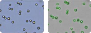 SW620 cells