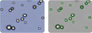 UACC-257 cells