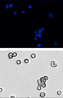 DAPI cell images