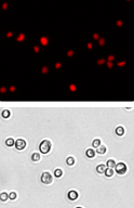 PC3 cell images