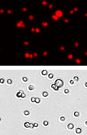 Panc-1 cell images
