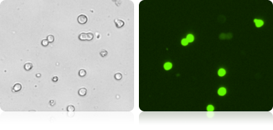 GFP Expression in 293F