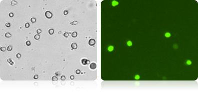 GFP Expression in 3T3