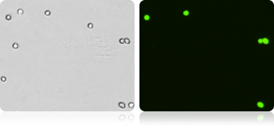 GFP Expression in COS-7