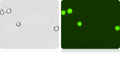 GFP Expression in H1299