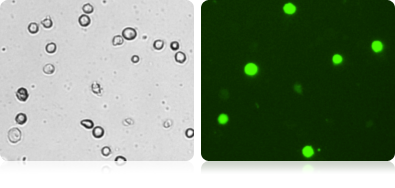 GFP Expression in HeLa
