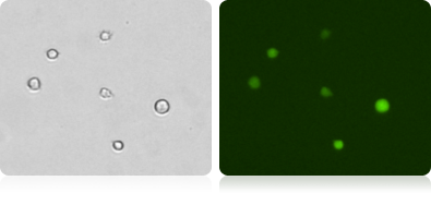 GFP Expression in K562