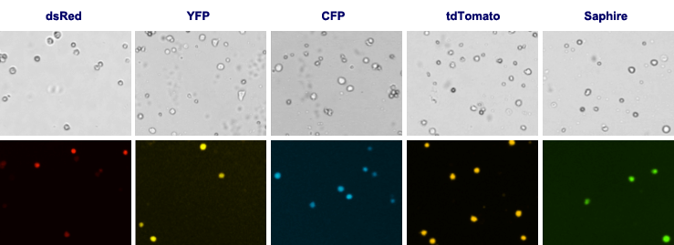 Fluorescent Proteins dsRed YFP CFP tdTomato Saphire
