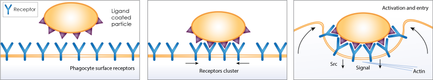 phagocytosis assay illustration