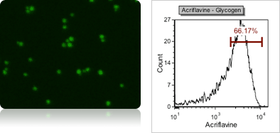 Yeast Glycogen Content using Acriflavine Fluorescent Staining