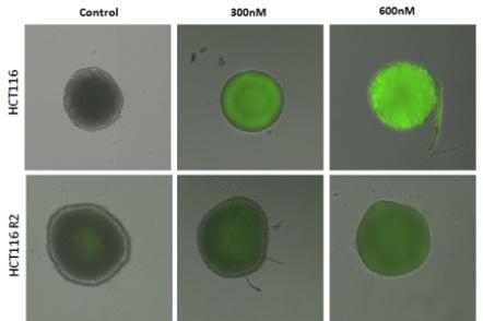caspase-3-7 activity in tumor spheroids