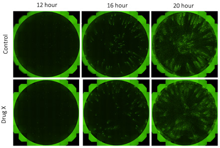 Fluorescent whole well images of time-dependent viral infection spread