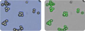 A549/ATCC cells