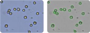 ACHN cells