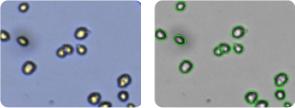 CAKI-1 cells
