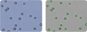 COLO 205 cells