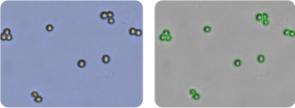 DU145 cells