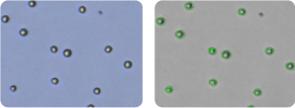 HL-60 cells