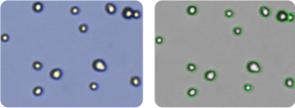 HOP-92 cells
