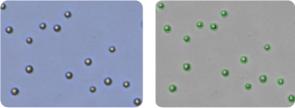 MOLT-4 cells