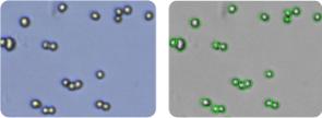 OVCAR-5 cells