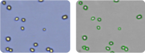 OVCAR-8 cells