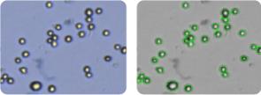 SF-268 cells