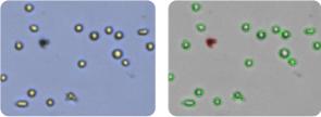 SR cells