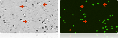 only live and dead mononuclear cells produce a fluorescent signal