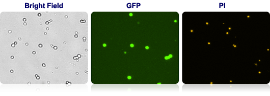 Bright Field, GFP and PI cell images from Cellometer