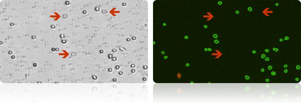 Fresh human PBMCs - Cellometer K2, cell viability counter