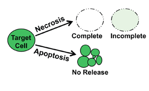 calcein-release-from-target-cells-following-necrosis-like-apoptotic-death